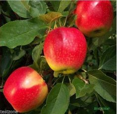 30%OFF New Arrival Bonsai Apple Tree Seeds Home Garden Fruit Seed Plus Mysterious Gift Online with $9.43/Piece on Lambkin_mart's Store | DHgate.com