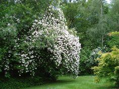 Paul's Himalayan Musk Rose - a  gracefully voracious tree-eater of a rose.