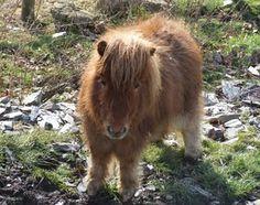 Barnabas a Miniature Shetland Pony