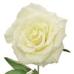 FiftyFlowers.com - Eskimo White Rose