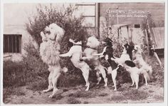 Circus Clever Dogs Poodle, Jack Russell & Chihuahua original old 1910s RPPC