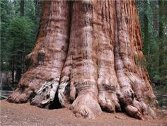 general sherman, a giant sequoia