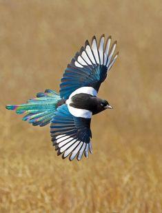 The Brassiest Bird in the West | Black-billed Magpie by Audubon