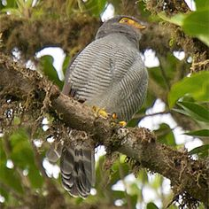 Barred Forest Falcon (Micrastur ruficollis) is a species of bird of prey in the Falconidae family which includes the falcons, caracaras, and their relatives. It occurs throughout most of tropical and subtropical Latin America, except the arid Pacific coast in South America, northern and western Mexico, and the Antilles.