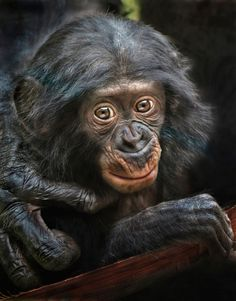 """Pro Bonobo"" - Belle, with a hand from mom. By: Ion Moe  (https://flic.kr/p/w4kBuf)"