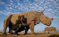 Dos rinocerontes y su cuidador en la reserva de Ol Pejeta, cerca de Nanyuki, Kenya (Dai Kurokawa, 2015)