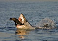 What one-ton fish armed with rows of dagger-like teeth can rocket ten feet out of the ocean in pursuit of its prey? None other than the great white shark, a super predator that has honed its killin… Jump The Shark, Shark Diving, Sharks, Shark Pictures, Animal Pictures, Cool Pictures, Water Pictures, The Great White, Great White Shark