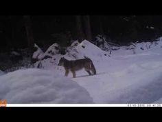 Alaska's Wolves Face Catastrophe | TakePart