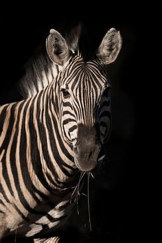 Zebra Portrait by Rudi Hulshof on 500px