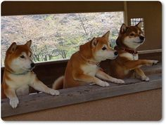 Shibas -- they're probably telling the humans what to do or ordering food. #shiba #shibaken
