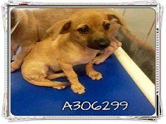 San Antonio, TX - Chihuahua Mix. Meet MAXI, a puppy for adoption. http://www.adoptapet.com/pet/11497394-san-antonio-texas-chihuahua-mix