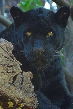Black panther watching with golden eyes. These big cats are the melanistic color variant of either jaguar or leopard species. Big Cats, Cool Cats, Cats And Kittens, Nature Animals, Animals And Pets, Cute Animals, Jaguar Noir, Beautiful Cats, Animals Beautiful