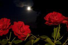 https://flic.kr/p/8vUH33 | France - Normandie | Website | Facebook | Myspace | Wordpress | Twitter | Flickriver © 20/07/2010 - Roses rouges et pleine lune, hommage à la féminité Voir l'album Normandie
