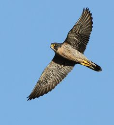 Birds ©: Peregrine Falcon - the fastest animal on earth. It can reach well beyond 320 km/h when executing a hunting stoop. Beautiful Birds, Animals Beautiful, Falcon Tattoo, Spiritual Animal, Peregrine Falcon, Kestrel, Birds Of Prey, Raptors, Wild Birds