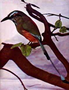 Turquoise-browed Motmot (Eumomota superciliosa) for Birds Illustrated article