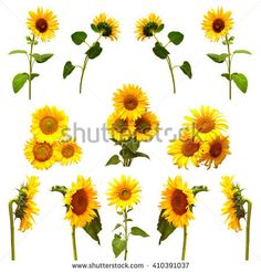 Collection of sunflowers isolated on white background. Flowers sunflowers
