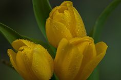 Three cut tulips left out for a nice rain. Nothing beats real rain water. #yellow #tulips #spring #flower