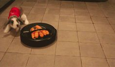 This bunny chasing a bunch of carrots tied to a roomba. | The 33 Most Important Bunny GIFs On TheInternet