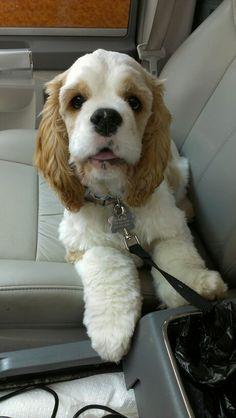 Adorable cocker spaniel puppy!