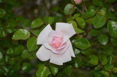 Running Rose