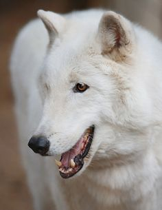 }{ Kenai - Arctic Wolf by Angie Bell Beautiful Wolves, Animals Beautiful, Cute Animals, Animal Meanings, Marley And Me, Arctic Wolf, Wolf Stuff, Wolf Love, Wild Wolf
