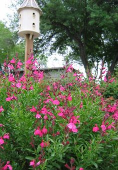 Salvia greggii & birdhouse  Drought and grasshopper resistant. Comes in several colors.(Penick)