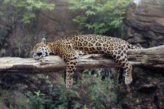 Autora: Clara Zamith | Ano: 2011 | Título: Sono da Onça | Descrição: Onça dorme sobre tronco, no Zoológico de Gramado, Rio Grande do Sul, Brasil.