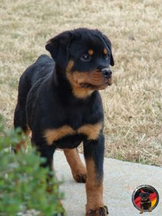 """Get excellent suggestions on """"rottweiler puppies"""". They are readily available for you on our website. Dog Training Methods, Basic Dog Training, Dog Training Techniques, Training Your Puppy, Training Dogs, Rottweiler Puppies For Sale, Rottweiler Dog, Dogs And Puppies, Rottweiler Quotes"""