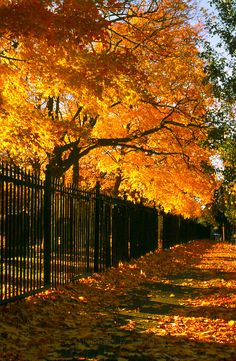 SEASONAL – AUTUMN – a scenic pathway surrounded by the brilliant colors of fall near a fence in richmond, virginia, photo via roxanne. Autumn Scenes, Seasons Of The Year, All Nature, Fall Pictures, New Hampshire, Fall Halloween, Wyoming, Autumn Leaves, Golden Leaves
