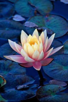 The Lotuses have their roots in the mud and relaxing on the surface of stagnant water coming out of them immaculate and beautiful : for this is the symbol of those who live in the world without being contaminated ♥.