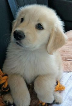I want another one sooo bad. Goldens are the best dogs. ever.