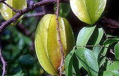 balimbing or star fruit