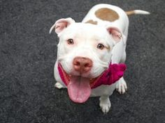 SASSY – A1017920 **RETURNED AFTER ONE DAY 06/24/16*** SPAYED FEMALE, WHITE / TAN, PIT BULL MIX, 2 yrs, 8 mos RETURN – EVALUATE, HOLD RELEASED Reason PETS CONFL Intake condition UNSPECIFIE Intake Date 06/23/2016, From OUT OF NYC, DueOut Date 06/23/2016