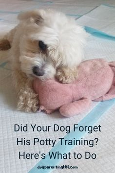 After all that time spent house training your dog, is it possible he's forgotten everything you taught him? #pottytraining #housetraining #housebreaking Potty Training, Dog Training Tips, Dog Care Tips, Pet Care, Pet Sitters International, Dog Health Care, Cute Dog Photos, Dog Anxiety, Dog Diapers
