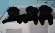 Puli dog photo | Puli Puppies at 4 weeks