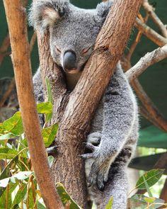 KOALA!!! #australia #cuteanimals #currumbinwildlifesanctuary by _hyti17 http://ift.tt/1X9mXhV