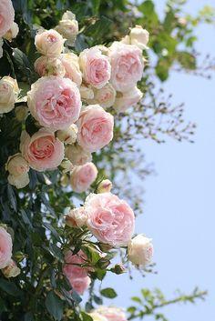 Climbing Roses! Gorgeous!