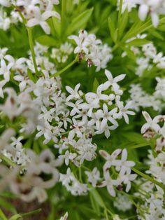 tuoksumatara Plants, Plant, Planets