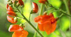 Ruusupapu on reheväkasvuinen ja koristeellinen köynnös aurinkoiseen paikkaan. Voit istuttaa sen ruukkuun tai penkkiin. Lue Viherpihan ohjeet.