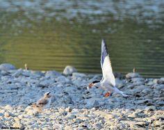 Pour commencer la semaine avec une image pleine de douceur, nous publions ici cette photo prise le 24/07 par Alain Mesas dans le domaine des oiseaux de Mazères (Ariège) avec un Canon EOS 700D + objectif Sigma 150-500 mm. #ornithologie   #oiseaux   #nature