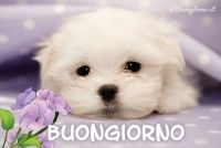 Maltese dogs and puppies guide: Buy and adopt teacup or miniature . Maltese Puppies For Sale, Maltese Dogs, Cute Puppies, Cute Dogs, Dogs And Puppies, Doggies, Teacup Maltese, Puppy Pictures, Animal Pictures