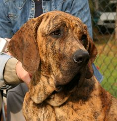 Fila Brasileiro (Brazilian Mastiff) is a courageous and fearless dog breed that is very resolute and often very suspicious of strangers. As such, the breed also known to be very willful and ongoing. It requires a clear head and lots of exercise and challenges to thrive.