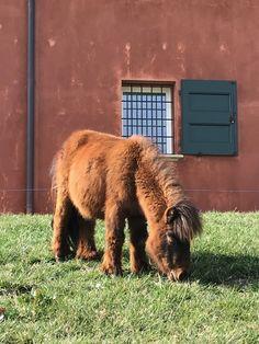 #minishetland #pony #allevamentominishetland Mini Shetland, Pony, Pony Horse, Ponies, Baby Horses