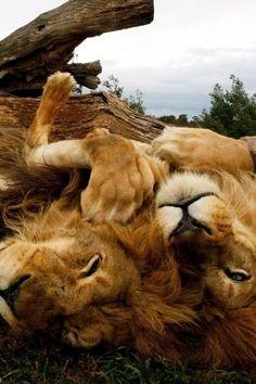 Just Lion Around   Cutest Paw