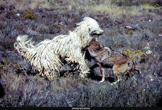 """The uncommon Kommondor dog, otherwise known as the """"mop dog"""". They were actually originally bred as livestock guardians, their unique coat protects them in situations just like the one pictured. Unusual Dog Breeds, Large Dog Breeds, Mop Dog, Hungarian Dog, Maremma Sheepdog, Komondor, Farm Dogs, Herding Dogs, Livestock"""