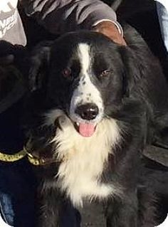Border Collie Mix Dog for adoption in Independence, Missouri - Pepper #bordercollie