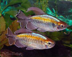 Congo Tetra, Phenacogrammus interruptus, swimming in a large planted aquarium.