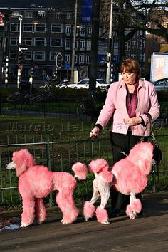 Poodle Dogs Pink jacket lady with her beautiful pink poodles on a walk! & Poodle rosa Poodle Dogs Source by haggerpy The post Poodle Dogs appeared first on JC Breeders. Tea Cup Poodle, Pink Poodle, Poodle Grooming, Dog Grooming, I Love Dogs, Cute Dogs, Poodle Cuts, Bulldog Breeds, Pet Breeds