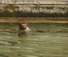 Monkey swimming in Monkey Temple Jaipur India