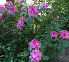 in Zuckerlrosa blühender Rhododendron in der Eckpergasse in Pötzleinsdorf Parks, Sleeping Beauty, Beautiful, Garden, Pink, Glass House, Plants, Flowers, Briar Rose